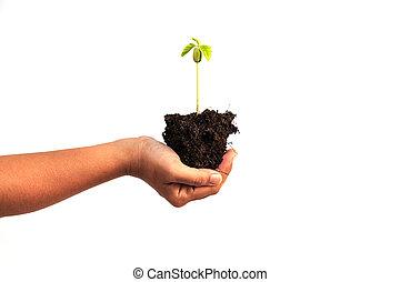 plante, tenue, jeune, sol, isolé, main, fond, blanc