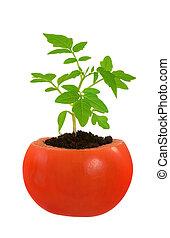 plante tomate, concept, évolution, isolé, jeune, croissant, blanc