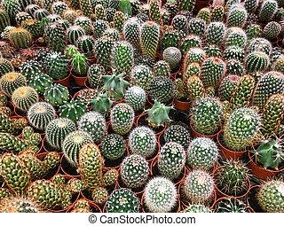 plante, usines, cactus, collection, beaucoup, potted, cactus, petit, -