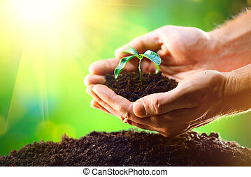 planter, nature, sol, sur, seedlings, ensoleillé, homme, arrière-plan vert, mains