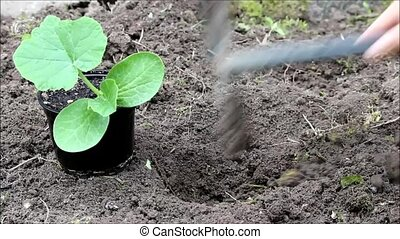 planter, pot, seedlings, cucurbita, citrouille, ouvert, terrestre