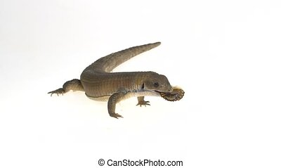 plaqué, haut., arrière-plan., commandant, blanc, lézard, gerrhosaurus, fin, ralenti, -, soudan