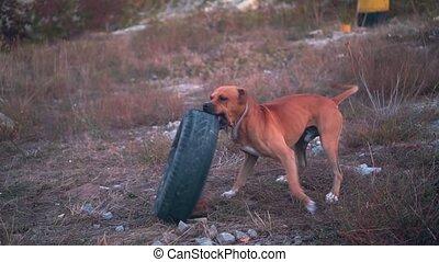 playing., américain, chien, jeune, voiture, terrier, vieux, pneu, staffordshire, mâle, jeux, wheel.