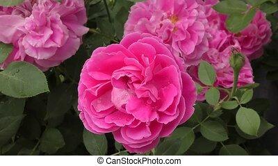 pluie, fleur rose, après, rose
