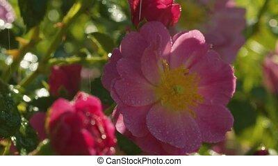 pluie, jardin, roses, sous