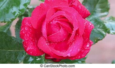 pluie, roses