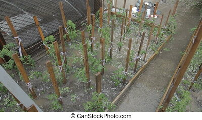 pluie, tomate, seedl, endommagé, grêle