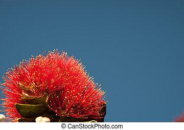 pohutukawa, fleur, unique, rouge clair
