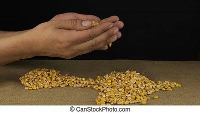 poignée, paysan, dehors, homme, graines, maïs, grains., sec, pelleter, hands., renverser