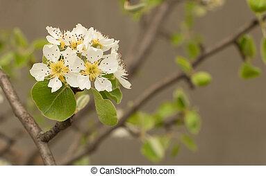 poire, fleur, fleurs, blanc, arbre