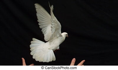 pois, mains, colombe, blanc, largage