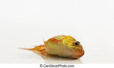 poisson rouge, eau, sans, s'agiter