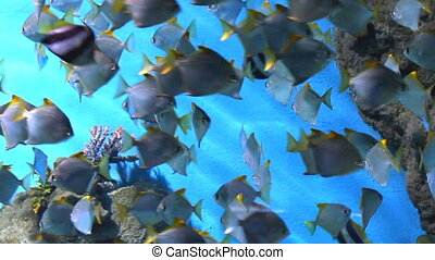 poisson tropical, récif corail