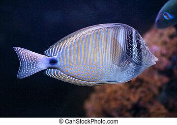 poisson tropical, saveur forte, eau océan, sailfin, indien, mer, rouges