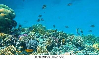 poissons, coraux, beau, exotique, coloré, sous-marin