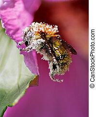 pollen, plaqué, abeille