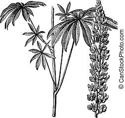polyphyllus, gravure, vendange, ou, lupin, large-leaved, lupinus