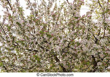 pomme, fleurs, arbre, rose, blanc, fleur