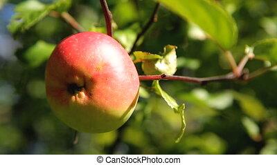 pommes fraîches, rouges, jardin, branche