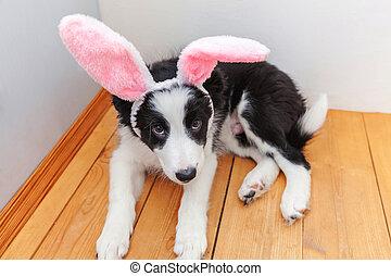 porter, rigolote, colley, intérieur, mignon, paques, concept., smilling, chien, maison portrait, heureux, chiot, frontière, oreilles lapin