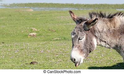 portrait, âne