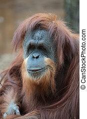 portrait, bornean, orang-outan
