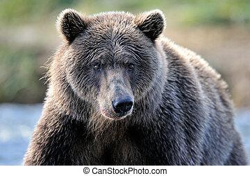 portrait, grisonnant, bear.