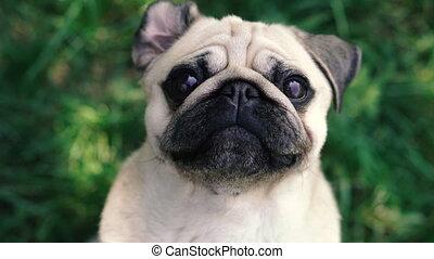 portrait., pug., chien, carlin, race