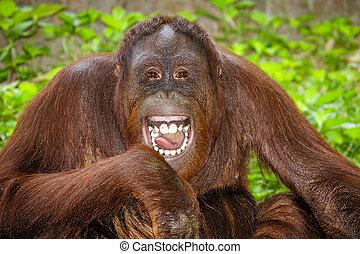 portrait, rire, orang-outan