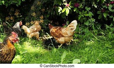 poulet