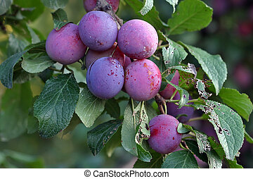 pourpre, stanley, prune, pruneau, fruits