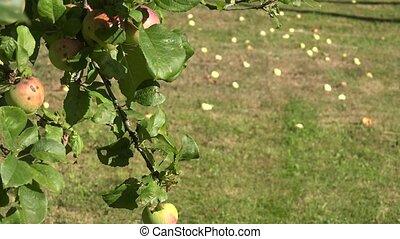 pré, mensonge, pomme, mûre, change., arbre, foyer, aubaine, grass., 4k, fruits, brindille, pommes rouges