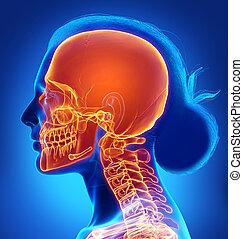 précis, illustration, rendu, crâne, 3d, medically, mis valeur