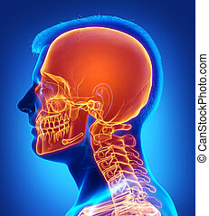 précis, medically, illustration, mis valeur, rendu, crâne, 3d