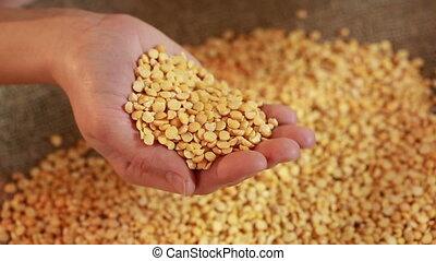 prêt, graines, main, semailles, pois