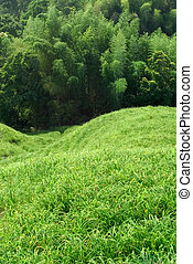 prairie, bambou, vert