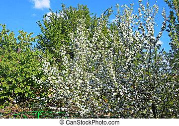 printemps, arbre, pomme, fleurir