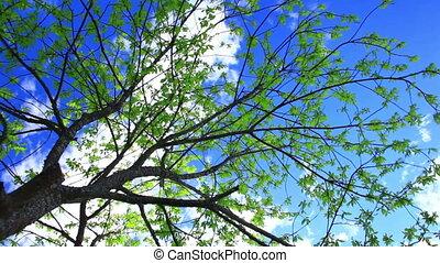 printemps, bird-cherry, arbre