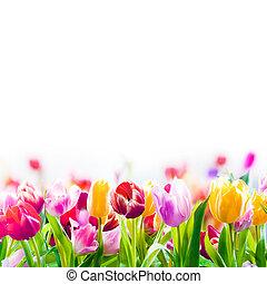 printemps, blanc, coloré, fond, tulipes