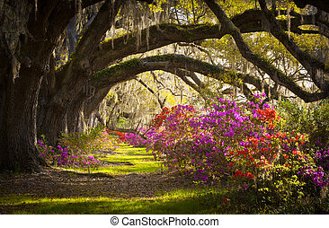 printemps, espagnol, chêne, arbres, plantation, vivant, azalée, mousse, fleurir, sc, charleston, fleurs, fleurs