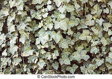 printemps, feuilles, lierre