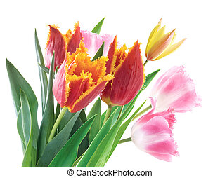 printemps, fleurs blanches, fond, tulipes