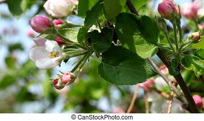 printemps, fleurs blanches, pomme