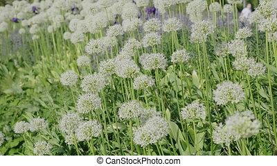 printemps, haut, soleil., lupines, fin, fleurir, blanc
