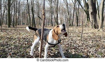 printemps, jeune, chien, beagle, rue., portrait