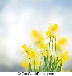 printemps, jonquilles, jardin