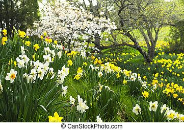 printemps, jonquilles, parc, fleurir