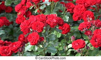 printemps, parterre fleurs, parc, roses rouges