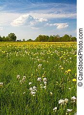 printemps, (taraxacum), fleurir, pré, pissenlit