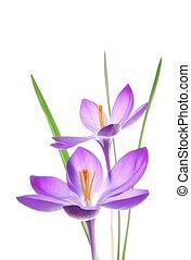 printemps, violet, colchique
